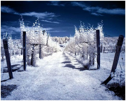 Infrared-Trees-1