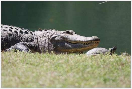 Alligators-and-Turtles-1