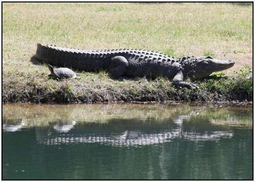 Alligators-and-Turtles-10