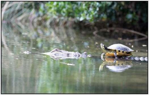 Alligators-and-Turtles-2