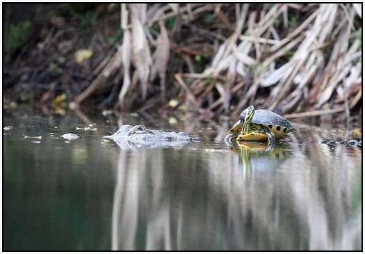 Alligators-and-Turtles-4