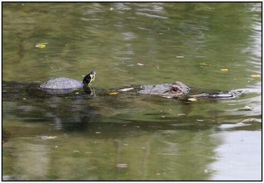 Alligators-and-Turtles-5