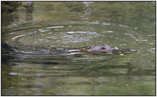 Alligators-and-Turtles-6