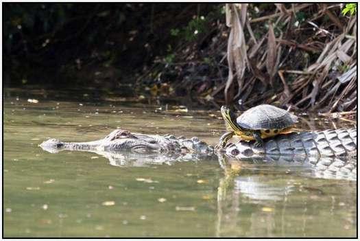 Alligators-and-Turtles-7