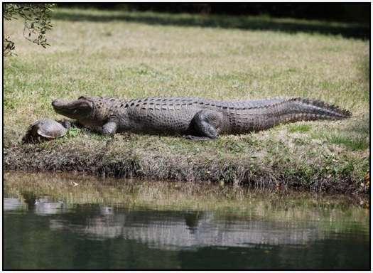 Alligators-and-Turtles-8