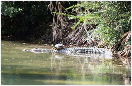 Alligators-and-Turtles-9
