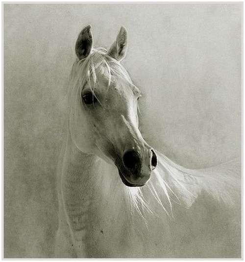 Arabian-horses-11