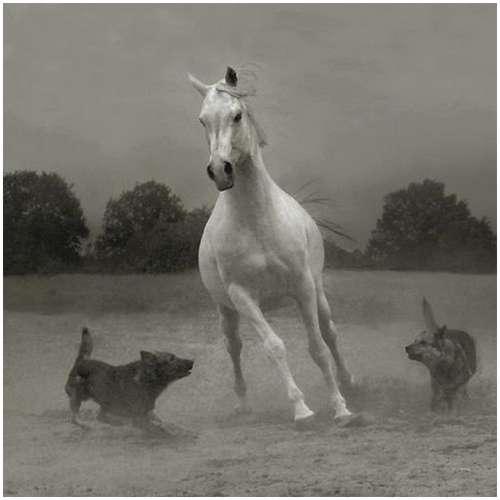 Arabian-horses-12