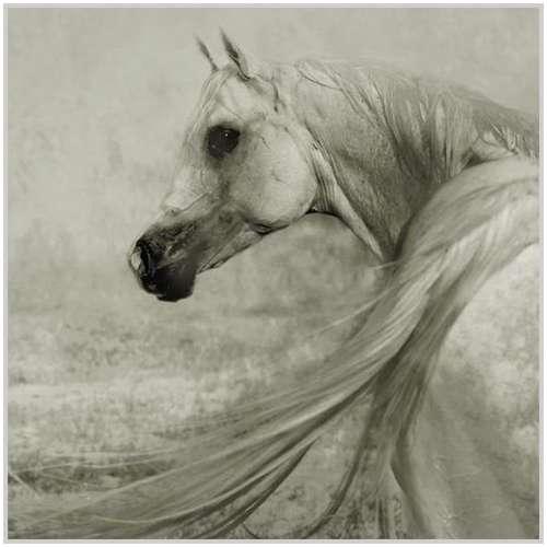 Arabian-horses-14