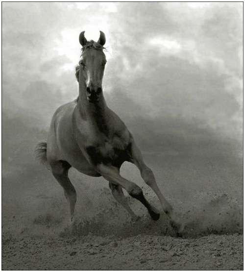 Arabian-horses-17