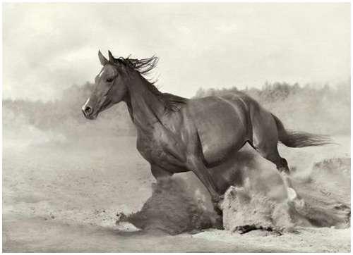 Arabian-horses-6
