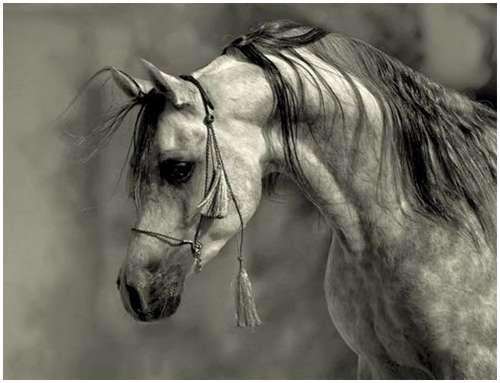 Arabian-horses-9