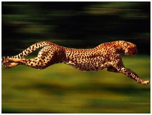 اسرع الحيوانات cheetah.jpg