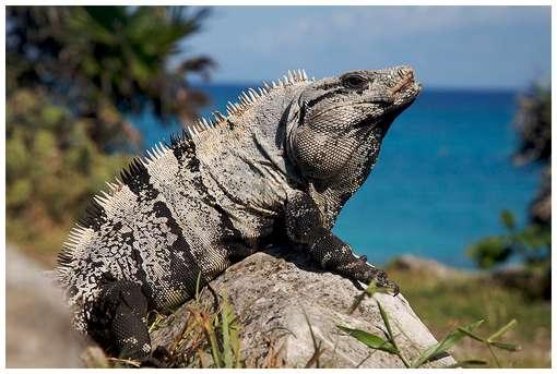 اسرع الحيوانات iguana.jpg