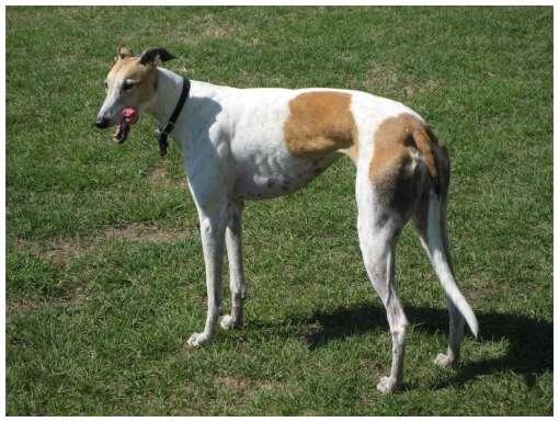 اسرع الحيوانات thegreyhound.jpg