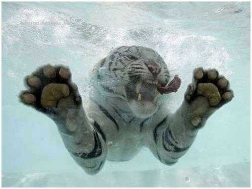 Ferocious-tiger-in-the-water