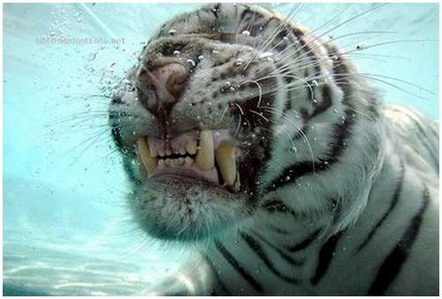 Ferocious-tiger-in-the-water-3