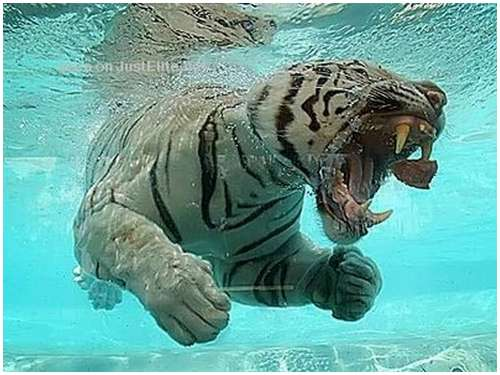 Ferocious-tiger-in-the-water-9
