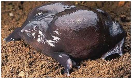 One-of-The-Rarest-Frogs-in-The-World-2