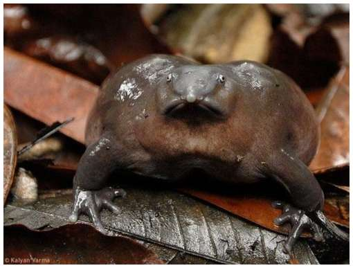 One-of-The-Rarest-Frogs-in-The-World-8