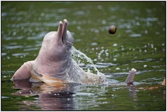 Pink-Amazonian-River-Dolphin-7