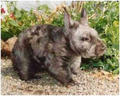 Hispid-hare