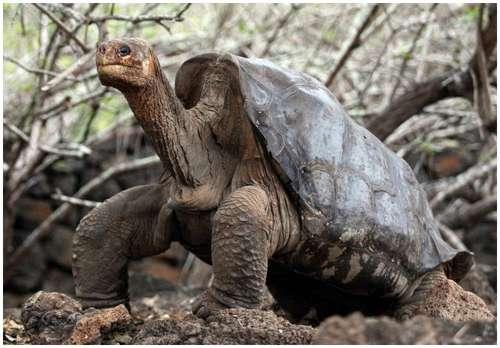 The-Pinta-Island-tortoise