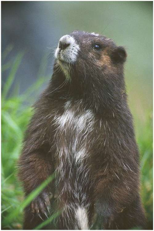The-Vancouver-Island-Marmot