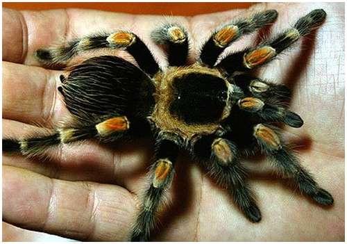 Mexican-redknee-tarantula