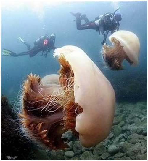 Echizen-Jellyfish-1