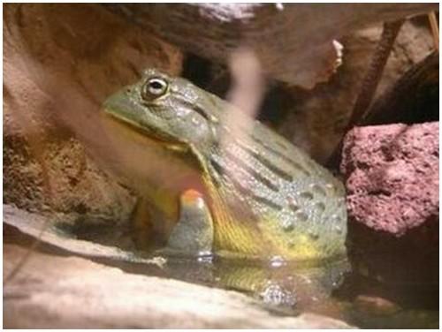 Giant-Bullfrog