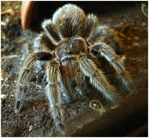 Chilean-rose-tarantula