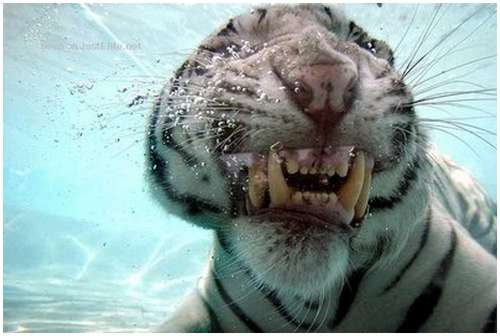 Ferocious-tiger-in-the-water-5