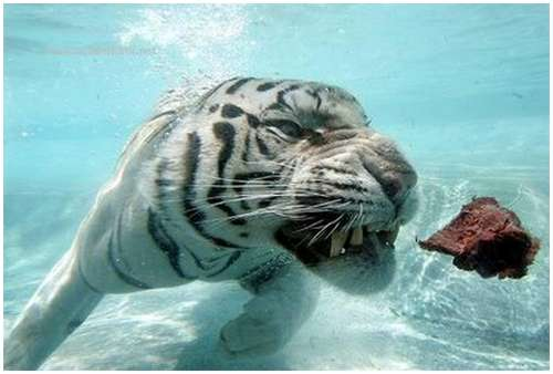 Ferocious-tiger-in-the-water-7