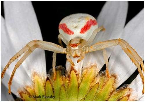 Goldenrod-crab-spider