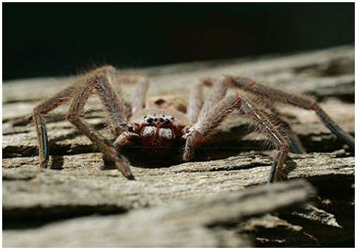 Huntsman-spider