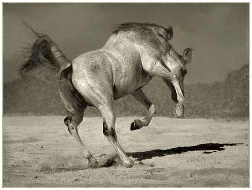 Arabian-horses-10