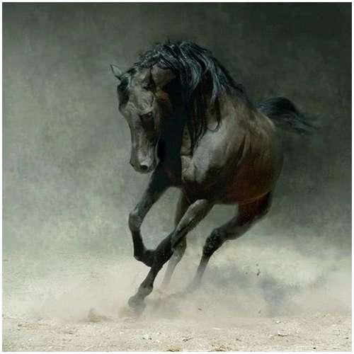 Arabian-horses-13