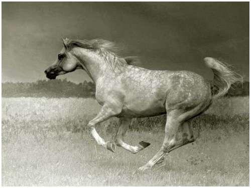 Arabian-horses-2