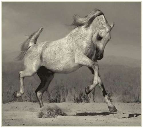 Arabian-horses-3