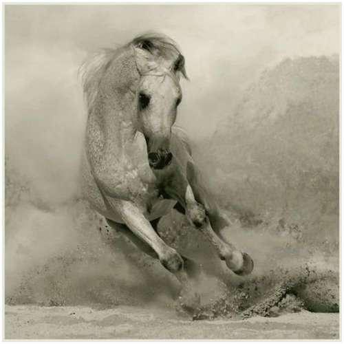 Arabian-horses-4