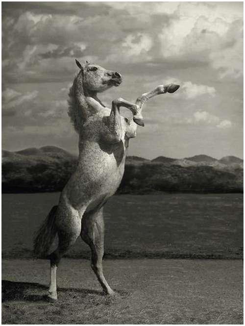 Arabian-horses-5