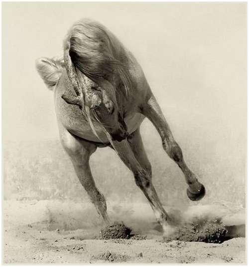 Arabian-horses-7