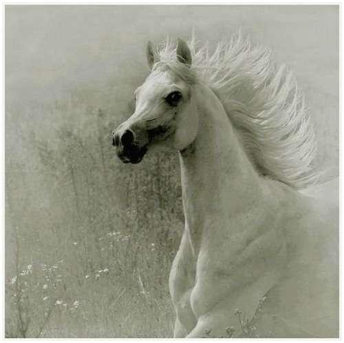 Arabian-horses-8
