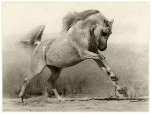 Arabian-horses