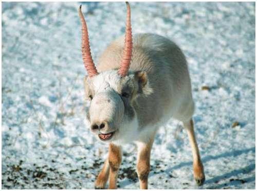 Saiga-Antelope