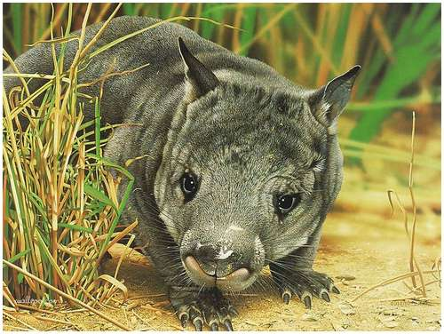 Northern Hairy-nosed-Wombat-1