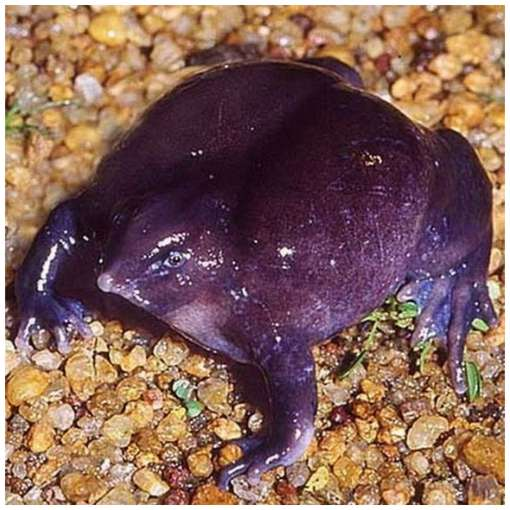 One-of-The-Rarest-Frogs-in-The-World-3