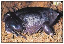 One-of-The-Rarest-Frogs-in-The-World