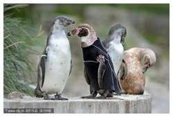 Bald-Penguin